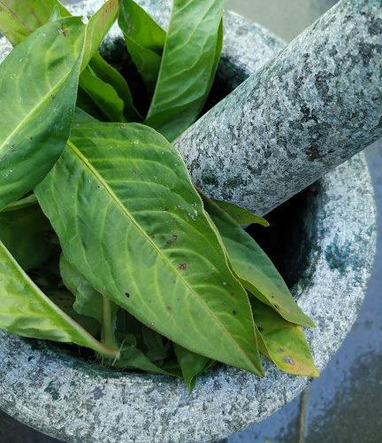 indigo-hojas-para-machacar